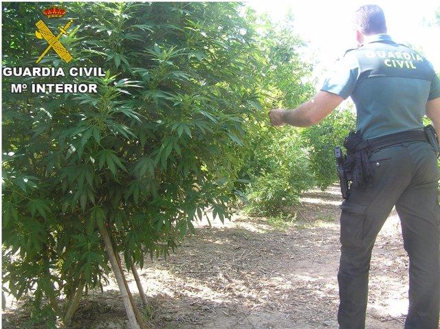 Plantas de marihuana en un campo de naranjos de Carcaixent