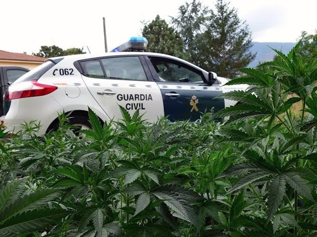 Platación de marihuana