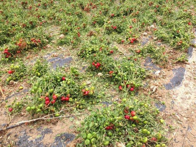 Campo afectado por el granizo