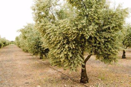 ¿Cómo producir un aceite de oliva más saludable?
