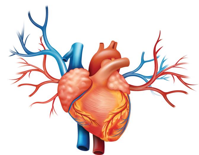 Día mundial del corazón: 14 curiosidades sobre el corazón para ...