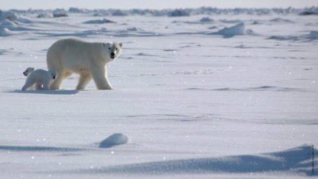 Oso polar con su cría