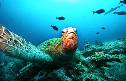 Fuerteventura suelta una tortuga verde en Playa Blanca