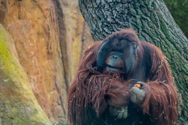 NP Semana Del Orangután 2.015