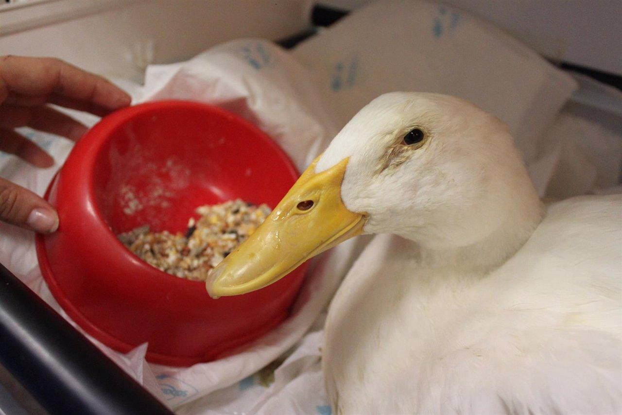 Imagen del pato tratado en la UCH CEU