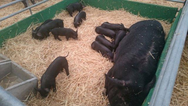 Imagen De Unos Cerdos En La XXII Edición De Los Prestigiosos Premios Porc D'or