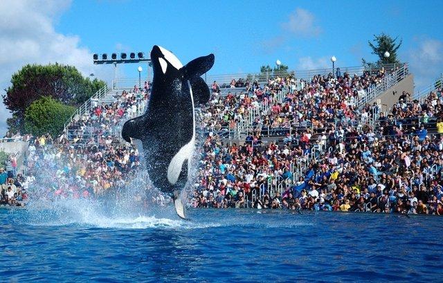 Espectáculo de orcas Shamu, en Seaworld