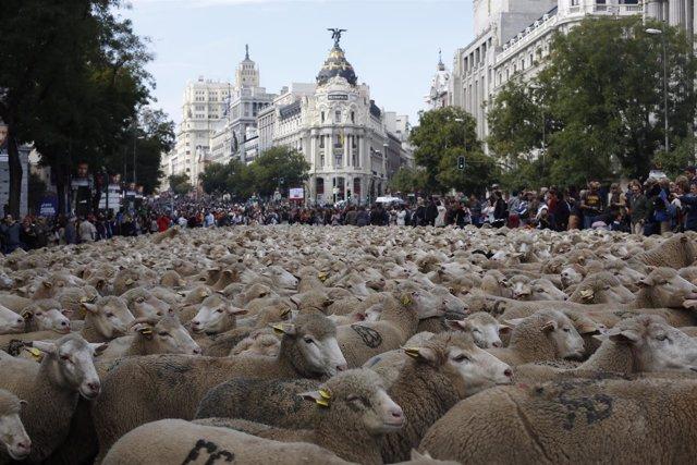 Fiesta De La Trashumancia, Ovejas Recorren El Centro De Madrid, Gran Vía