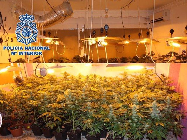 Plantas de marihuana en la plantación desmantelada por la Policía.