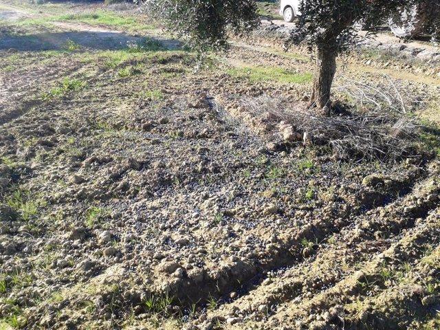 La cosecha de aceitunas cae un 20% en Catalunya por el temporal