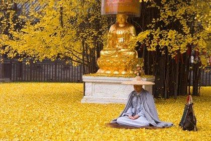 La caída de hojas de un árbol Gingko de 1.400 años atrae a turistas en China