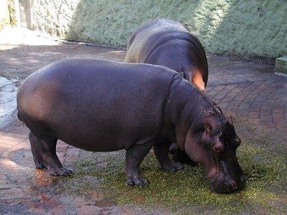 Hipopótamos de la antigua finca de Pablo Escobar siguen dando problemas
