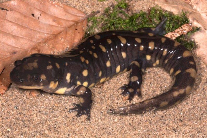 Las salamandras cuentan la evolución de los primeros animales terrestres