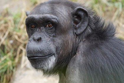 El autocontrol de los niños de 3 años, como el de un chimpancé