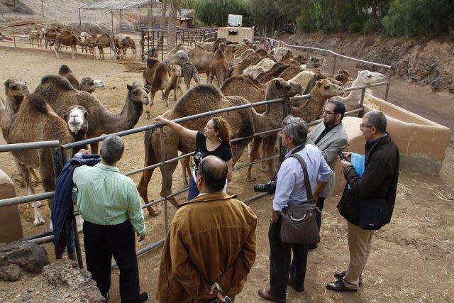 Visita a una granja de camellos