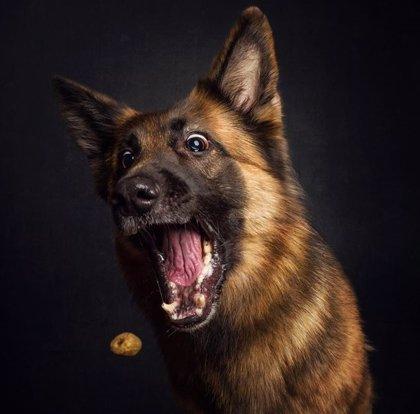 Hilarante sesión fotográfica de perros hambrientos y sus expresiones