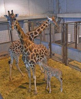 Cría de jirafa recién nacida
