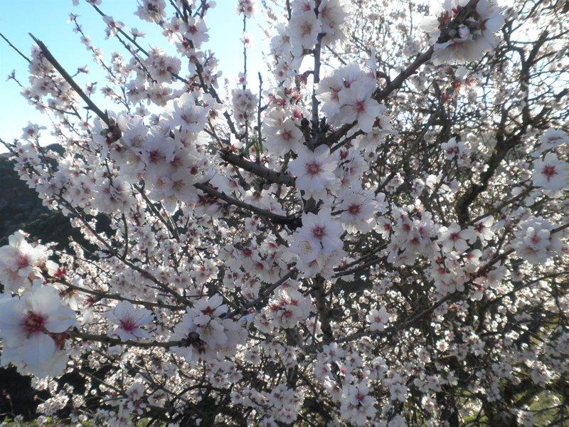 La Flor De Almendro Se Adelanta 20 Días Por El Otoño Y Diciembre Más
