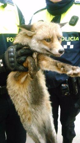 Rescatan un zorro en el Liceo Francés