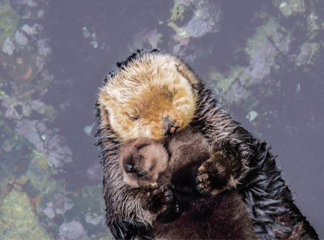Una cría de nutria duerme en el vientre de su madre y sus fotos de hacen virales