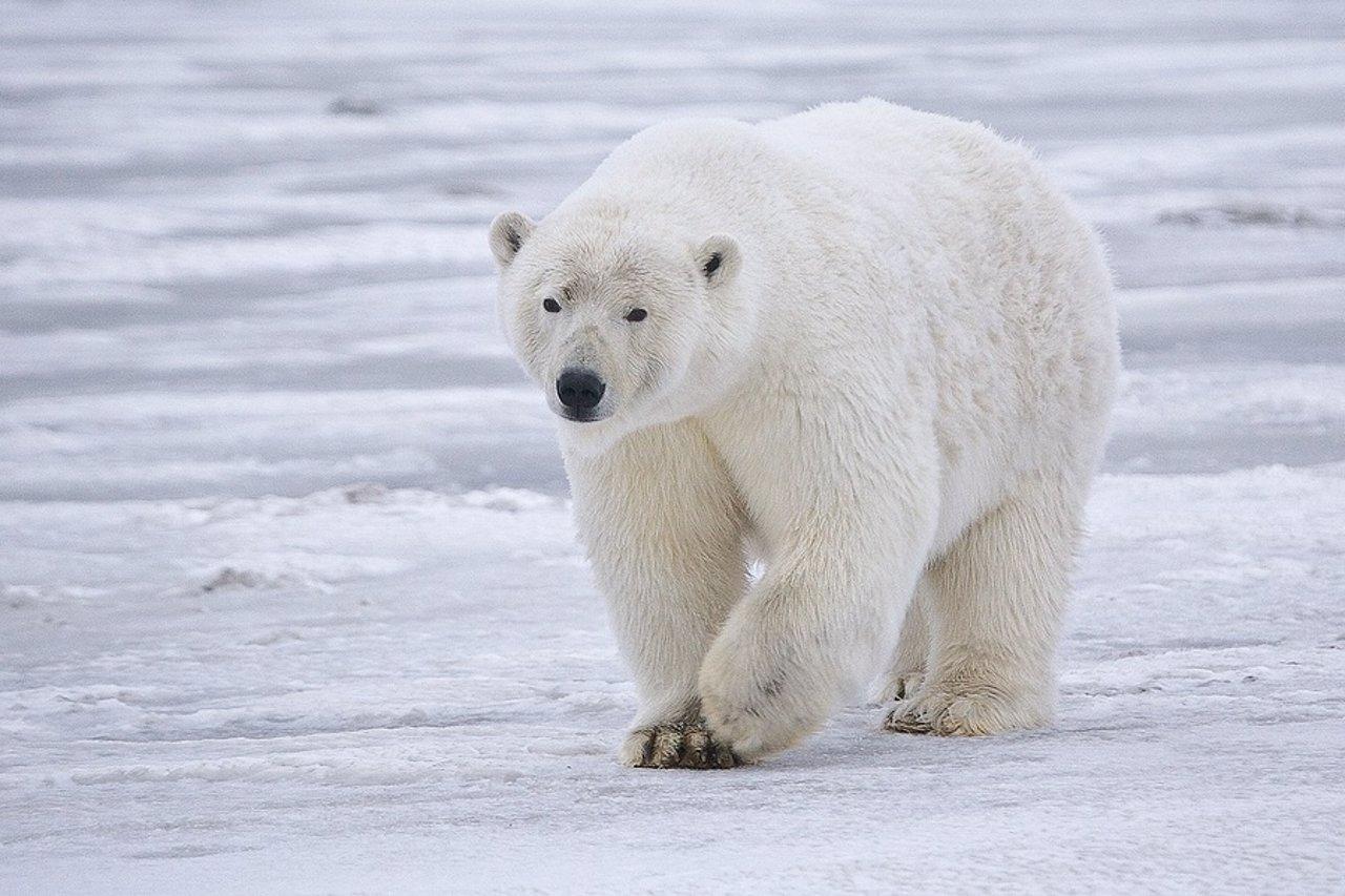 Animales en peligro de extinción: el oso polar