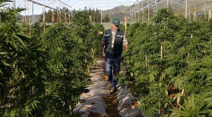 Colbún, el pueblo con el campo legal de marihuana más grande de América Latina