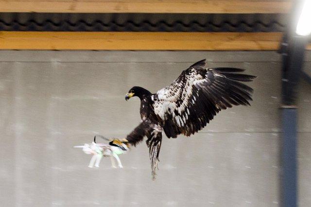 Águila Caza Un Dron