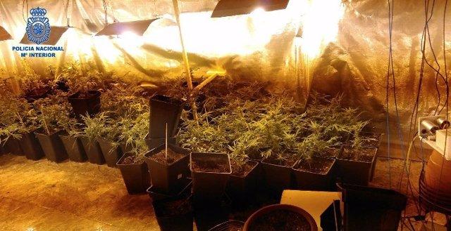 Plantación de marihuana en Palma