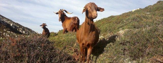 Ejemplares de cabra bermeya.