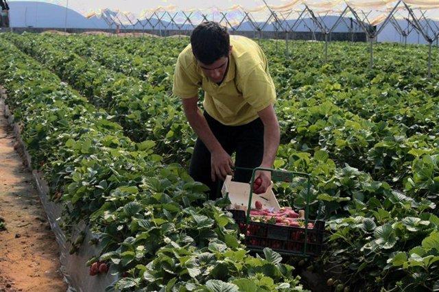Un trabajador en la campaña de la fresa.