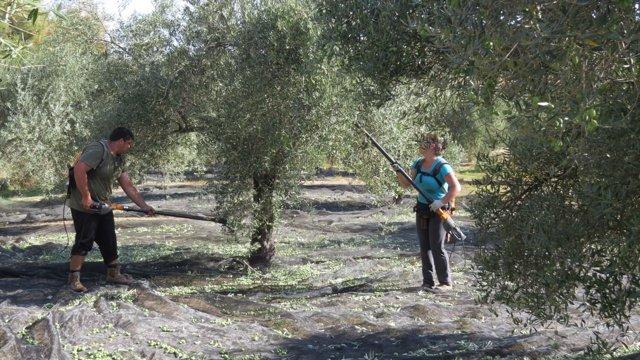 Trabajadores en el olivar.