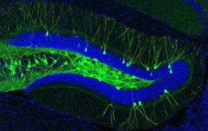 Logran que ratones con principio de Alzheimer recuperen recuerdos