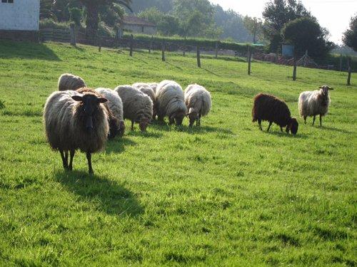 Ovejas, campo, rural.