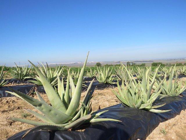 Plantación de aloe vera en Moguer.