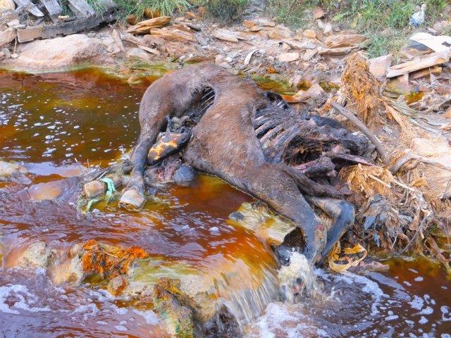Animal muerto en la cuenca del río Tinto