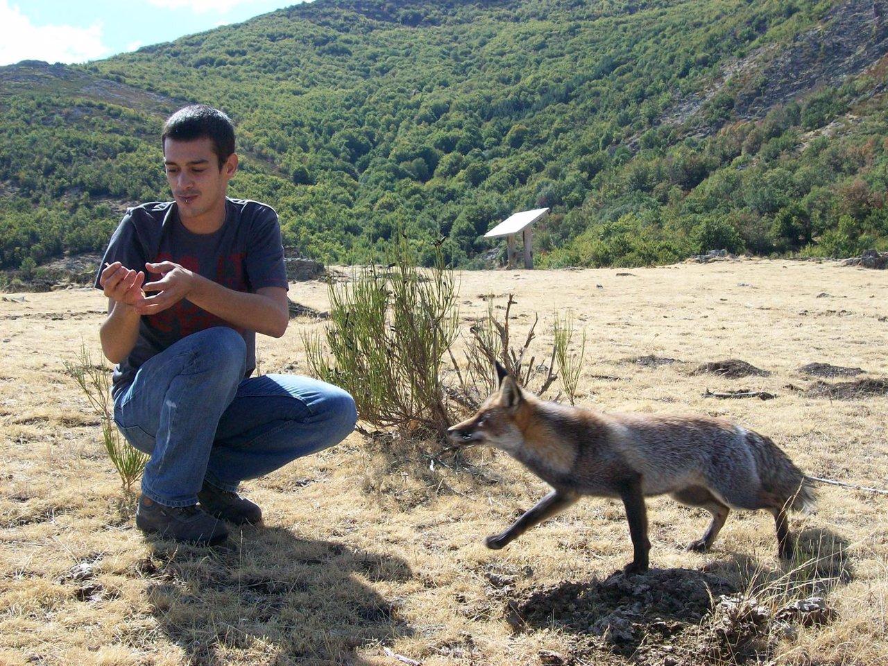El joven investigador Ciro Cabal  examina un zorro