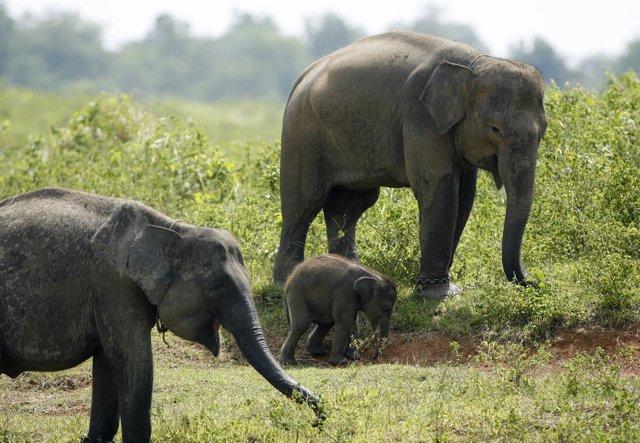 Ejemplares de elefantes asiáticos