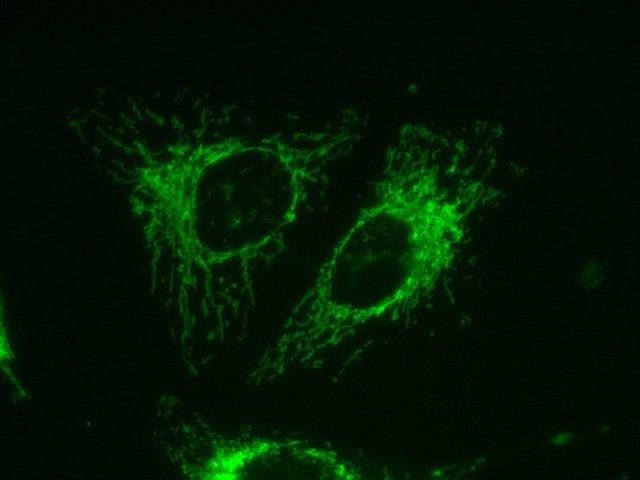 Fluoróforo específico de mitocondria Mitotracker