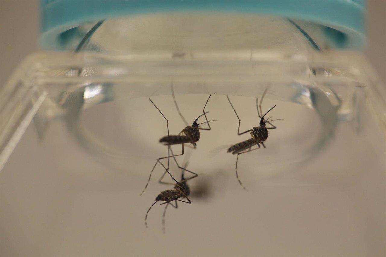 Mosquito transmisor del zika, Aedes aegypti