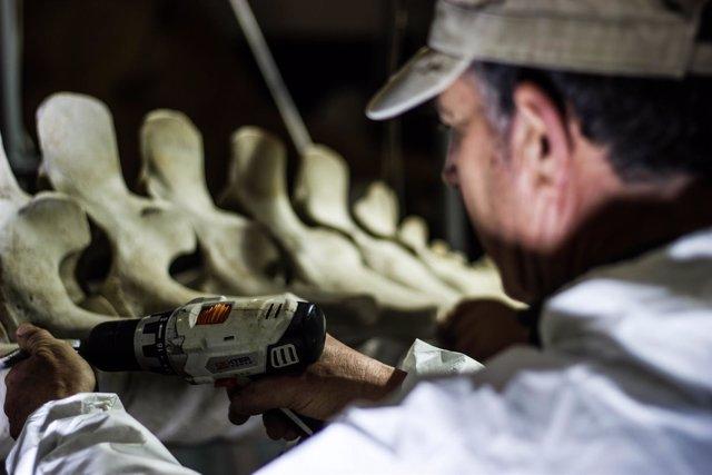 Montaje del esqueleto de la ballena varada en el saco interno de la Bahía.
