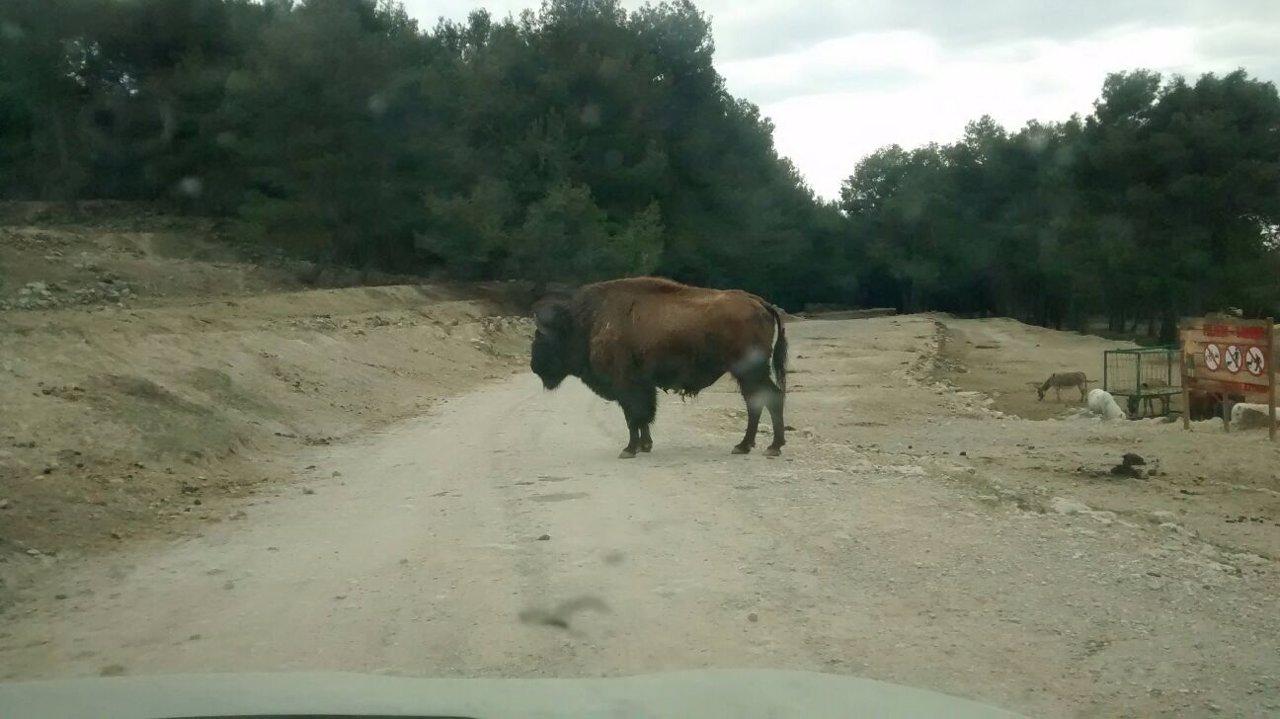 Imagen de archivo de uno de los búfalos del parque