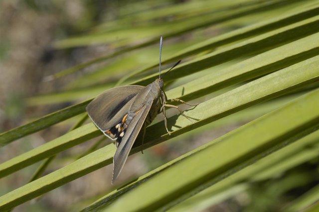 Ejemplar de macho de polilla 'Paysandisia archon' (Castniidae)