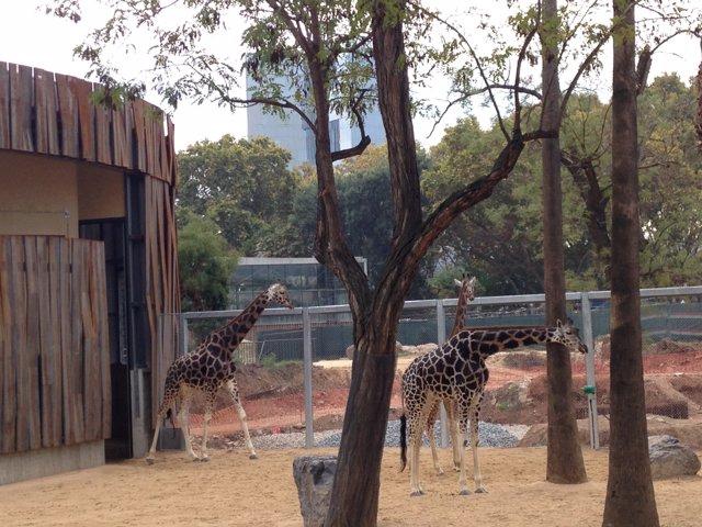 Nuevo espacio para las jirafas del Zoo de Barcelona