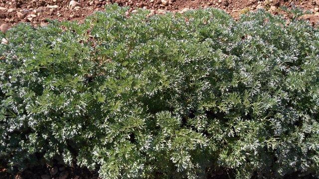 Planta de Ajenjo (Artemisia absinthium L.)
