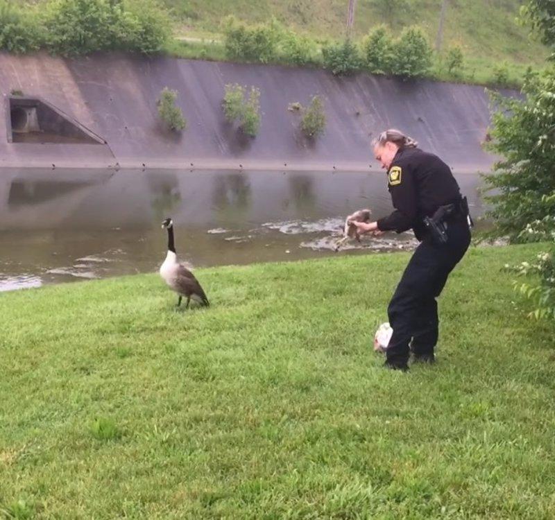 Esta mamá ganso pidió ayuda a la policía para rescatar a su cría