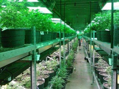 Luz verde de Colombia al uso medicinal de la marihuana