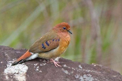 """Redescubren una """"extraña"""" ave en Brasil que se creía extinta desde 1941"""