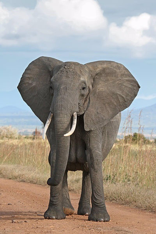 WWF advierte de que el número de elefantes de Tanzania se reducirá si no se toman medidas