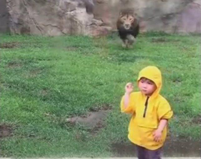 Un león intenta abalanzarse sobre un niño