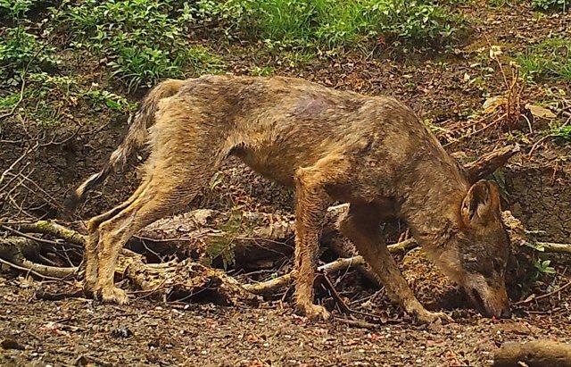 Imagen de un lobo afectado con sarna.